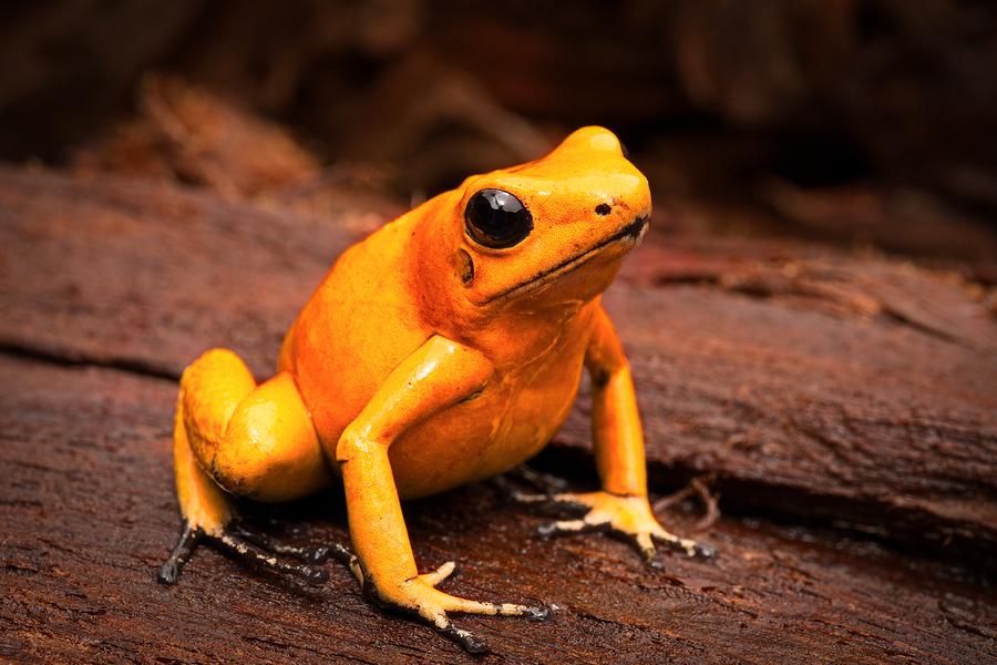 Image of poisonous dart frog Phyllobates Terribilis