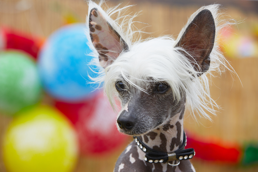Chinese Crested Dog by chalabala