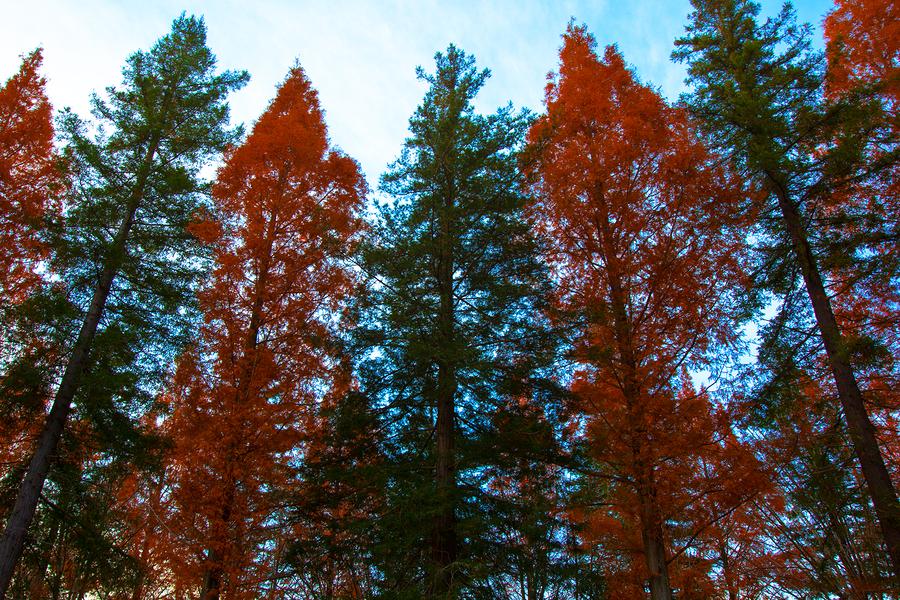 Sequoias & Metasequoias