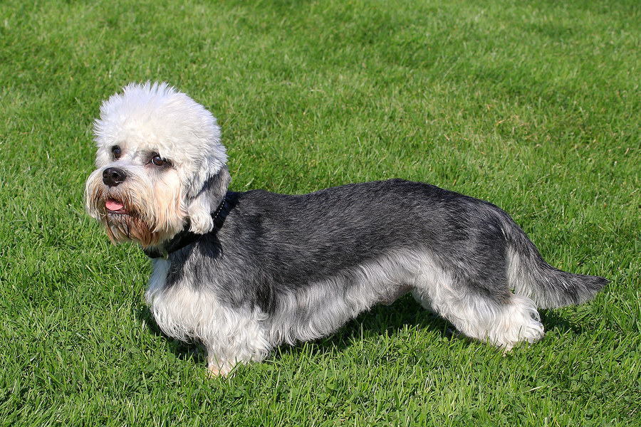 Dandie Dinmont Terrier by  CaptureLight