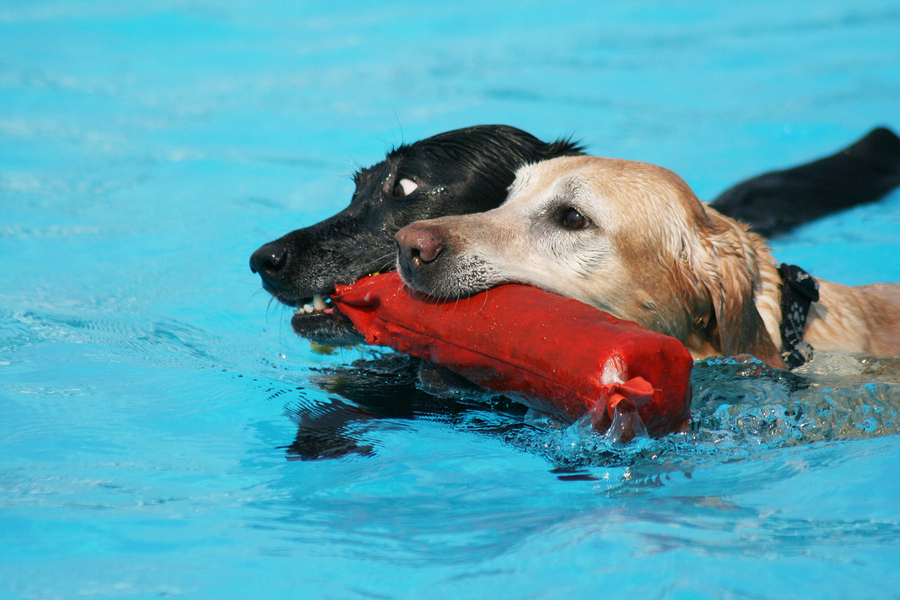 Two labs sharing a pool toy in a public pool by graphicphoto