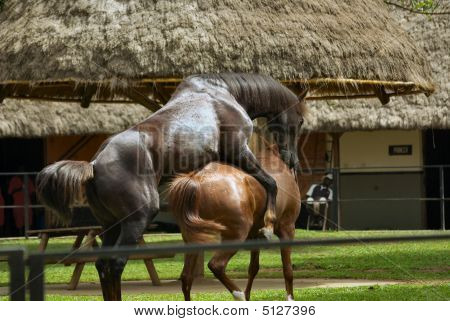 Horse Breeding up Close Horse Mating Close up Pictures